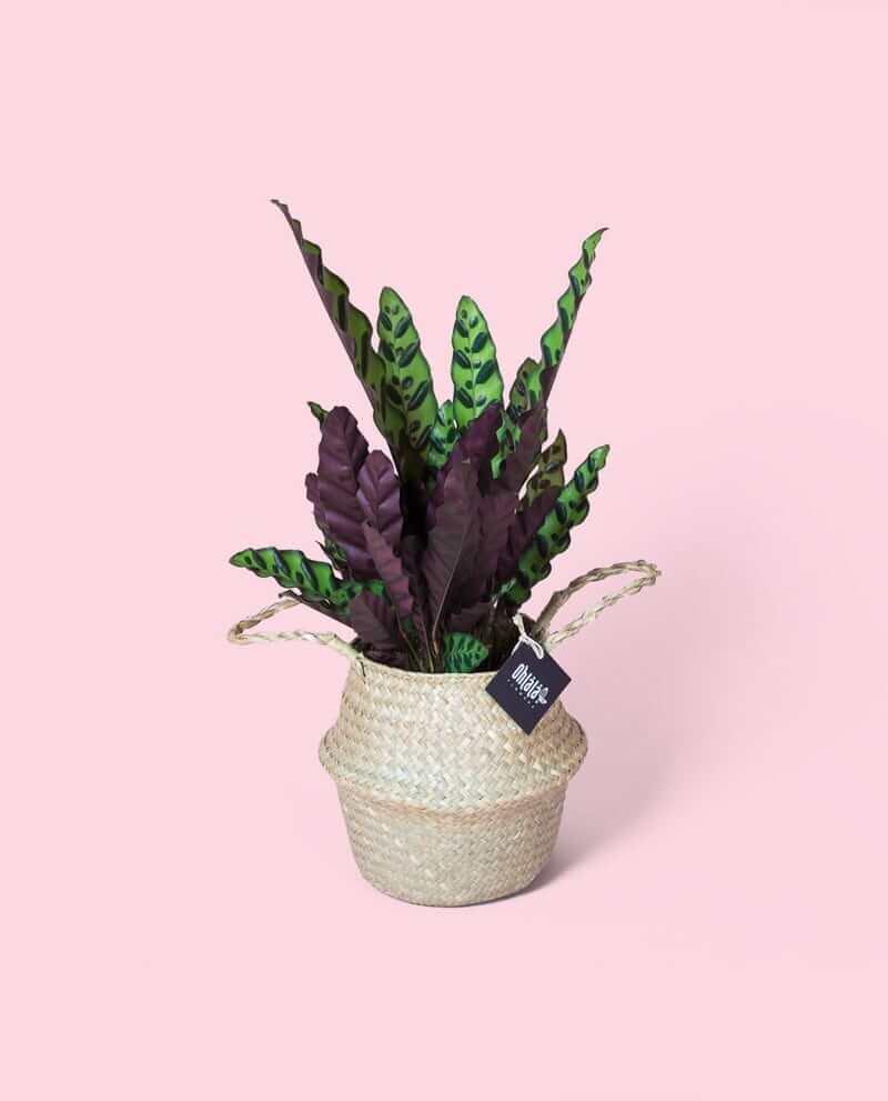 calathea-lancifolia-khs-01