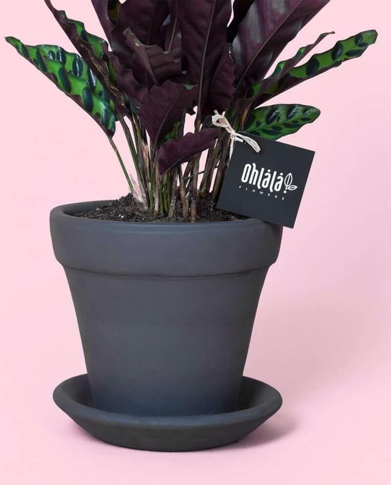 calathea-lancifolia-ss-02