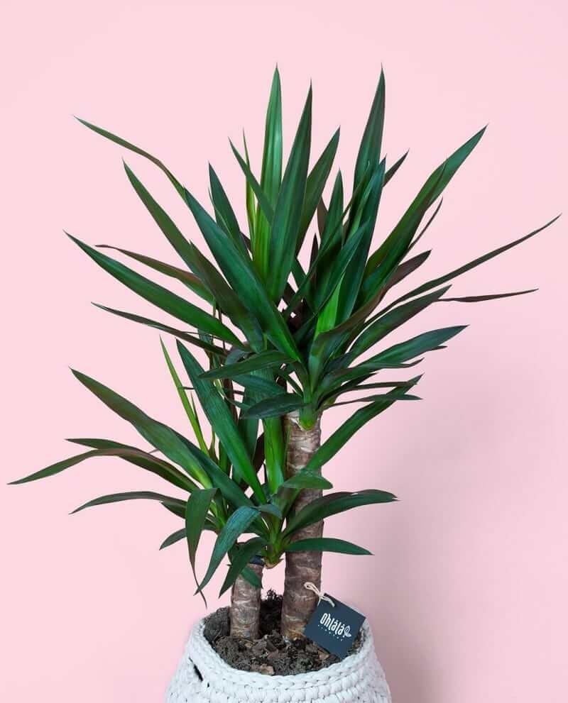 yucca-bc-04