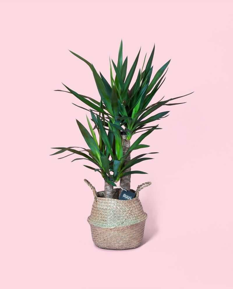 yucca-khs-01