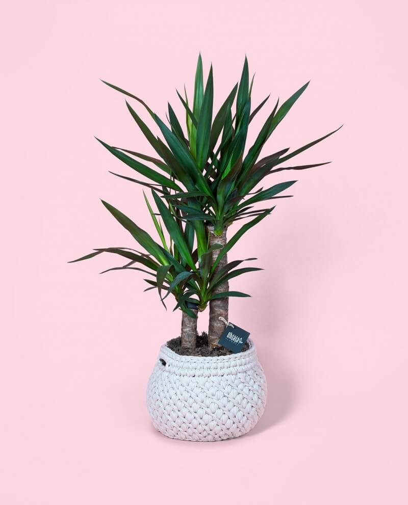 yucca-or-01