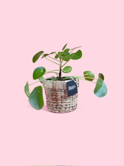 pilea bitkisi çok şık hasır sepetiyle